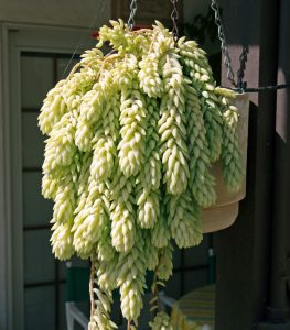 Burro's tail grows best in bright light.