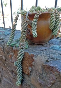 Burro's tail is easily grown as a houseplant.