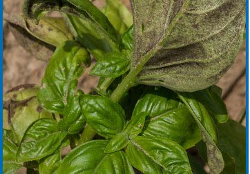 basil-downy-mildew