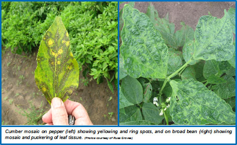 Mosaic Virus on Cucumber plant