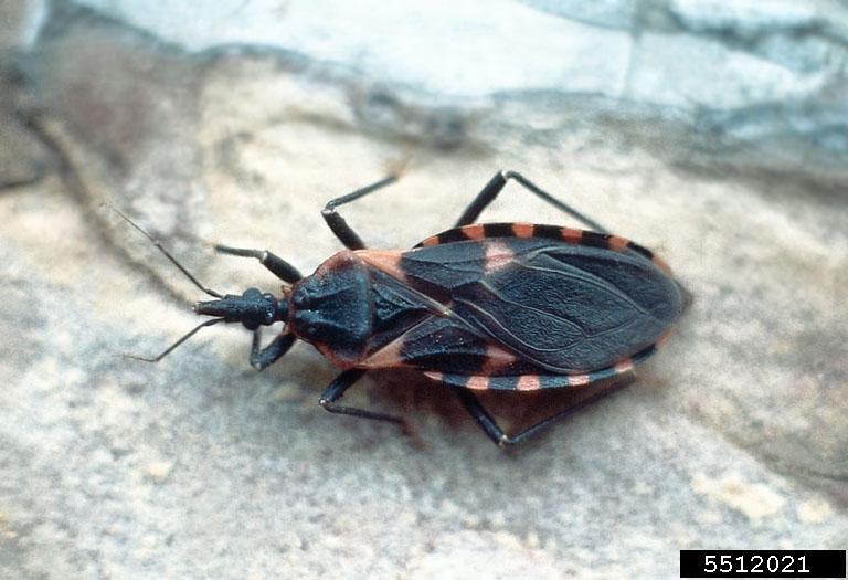 kissing-bug