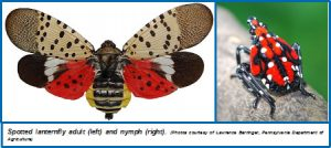 Spotted Lanternfly – Wisconsin Horticulture