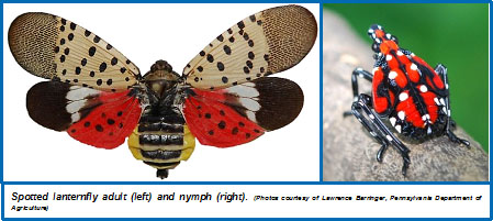 Spotted Lanternfly on Life Cycle Of A Flower