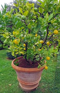 Citrus growing in a large container in Italy.