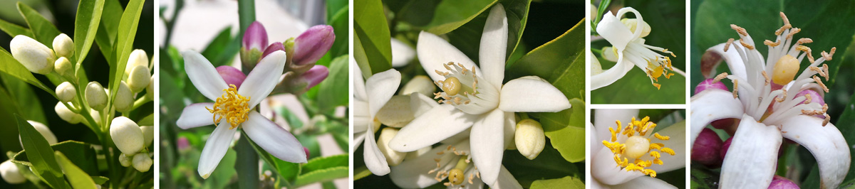 Clusters of buds (L), which may be white or pink (LC) open to white petals and yellow stamens (C, RC and R).