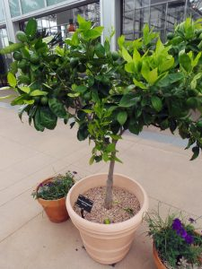 Citrus in containers are best moved outside once the weather is warm.