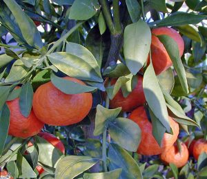 Citrus grown from seed is unlikely to produce the same type of fruit as the parent.
