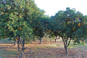 Orange trees are still grown in southern California.