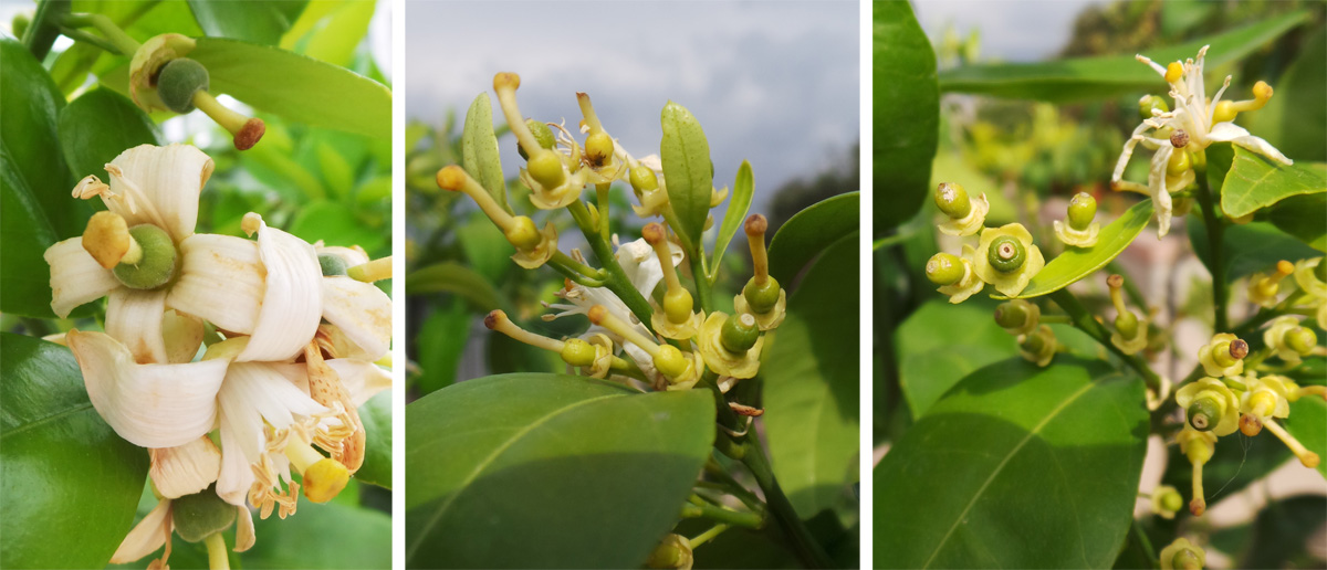 Young fruits develop after the flowers.