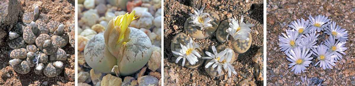 LIthops flower buds emerge from between the leaves (L and LC) and start to open (RC) the daisy-like flowers (R).