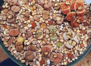 Lithops need a well-drained planting medium and look nice topdressed with gravel or stones.