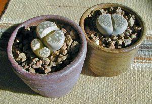 Lithops are popular novelty houseplants.