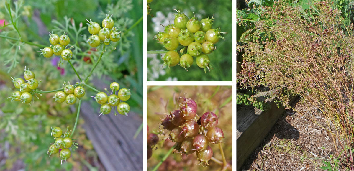The green fruits (L and top C) turn reddish (lower C) before drying on the plant (R) to become light brown seeds.