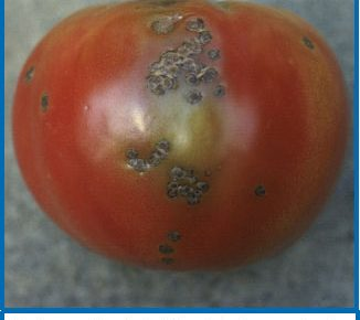 Bacterial Spot of Tomato