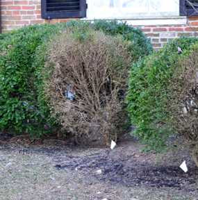 Photo of boxwood with dead branches.