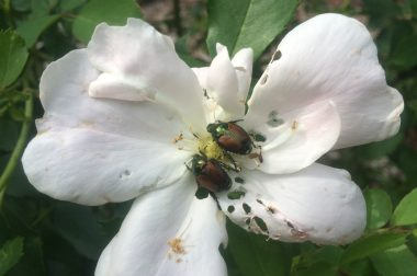 Adult Japanese Beetles on a rose.