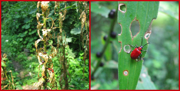 Two images of lily leaf beetle and damaged plants