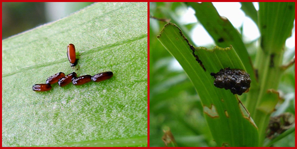 Two images of lily leaf beetle eggs