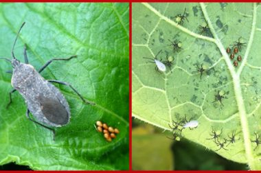 Photo of adult and larva stages of squash bug