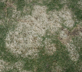 Image of patchy grass with alive and dead parts.