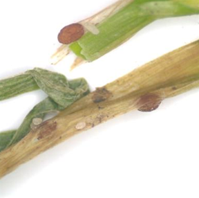 Photo of close up of diseased leaf blade