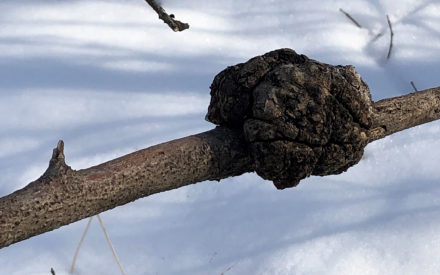 Wintertime is a great time to look for galls on trees