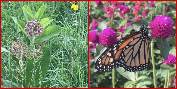 Images of milkweed