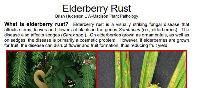 Elderberry Rust