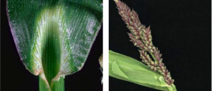 Wisconsin Weed Identification: Barnyardgrass – Echinochola crusgalli