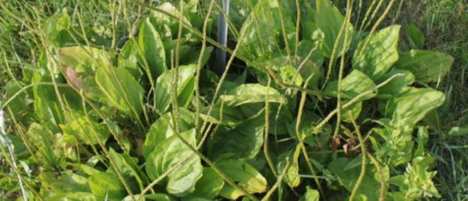 Wisconsin Weed Identification: Blackseed Plantain – Plantago rugelii