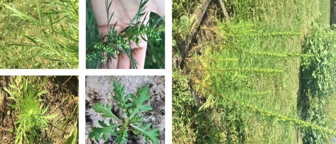 Wisconsin Weed Identification: Biennial Wormwood