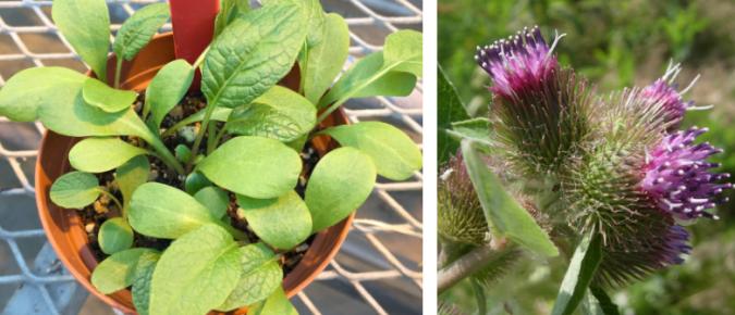 Wisconsin Weed Identification: Common Burdock – Arctium minus