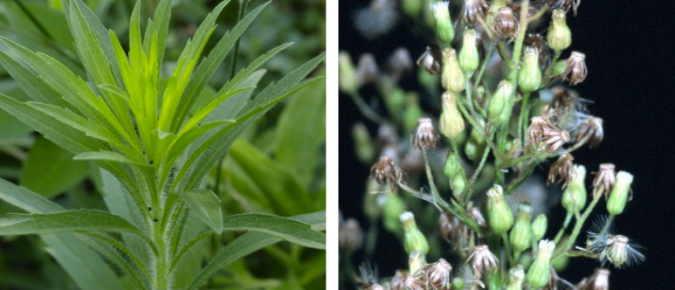 Wisconsin Weed Identification: Horseweed (Marestail) – Conyza canadensis