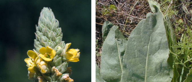 Wisconsin Weed Identification: Common Mullein – Verbascum thapsus