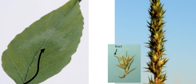Wisconsin Weed Identification: Palmer Amaranth