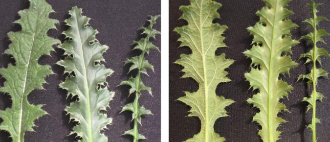 Wisconsin Weed Identification: Biennial Thistle Comparison