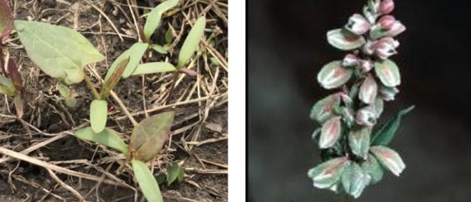 Wisconsin Weed Identification: Wild Buckwheat – Polygonum convolvulus