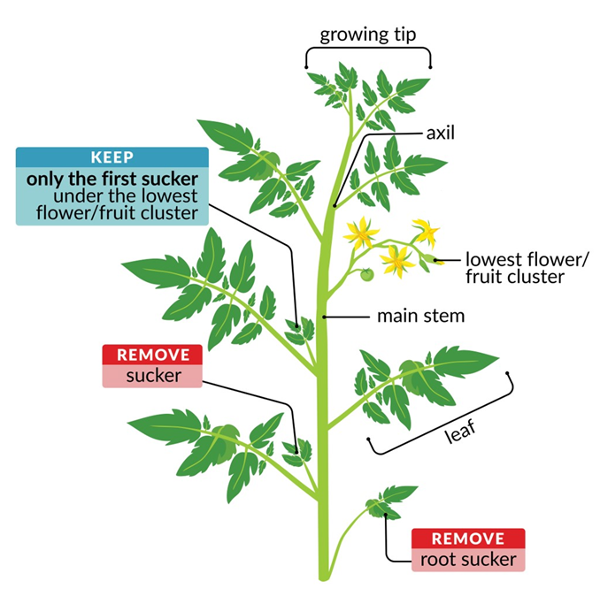 A labeled diagram of a tomato plant