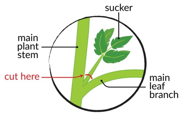 I labeled diagram of a tomato plant, showing where to prune the sucker leaf