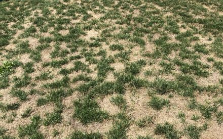 Image of dead patchy grass