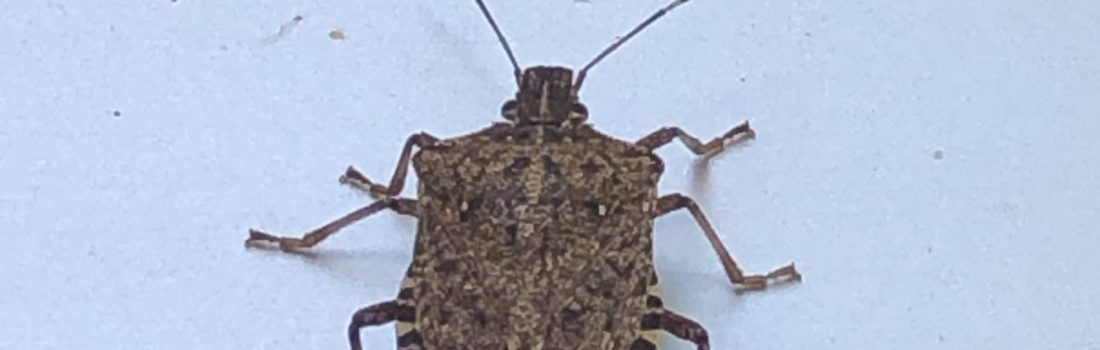 Image of brown marmorated stick bug