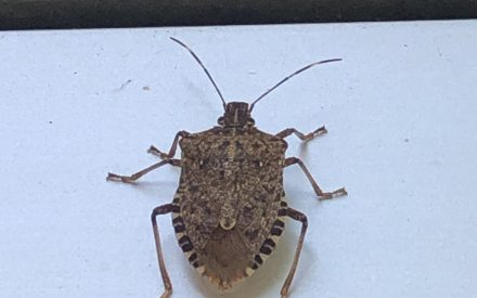 How do deal with these little stinkers getting into your home: Brown Marmorated Stink Bug